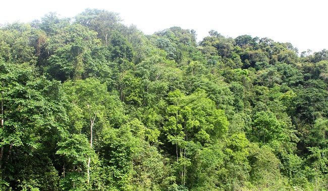 Rừng Điện Biên nơi có cây dổi nếp cho hạt ngon nhất